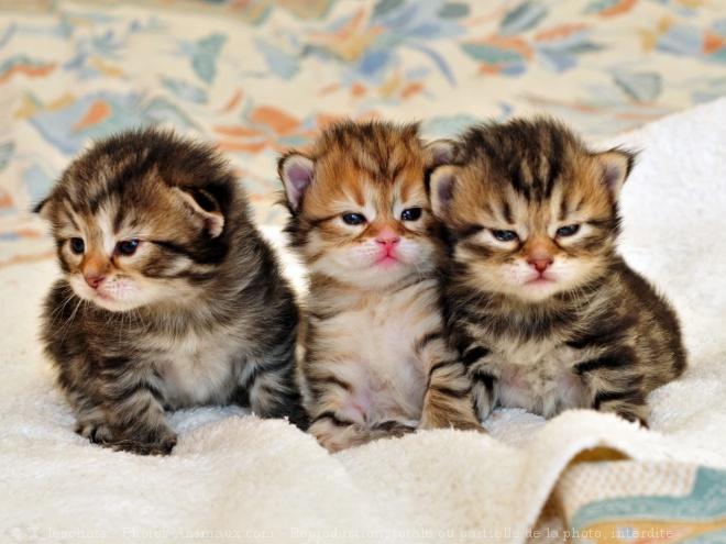 Voici à quoi ressemblent des chatons sibériens...