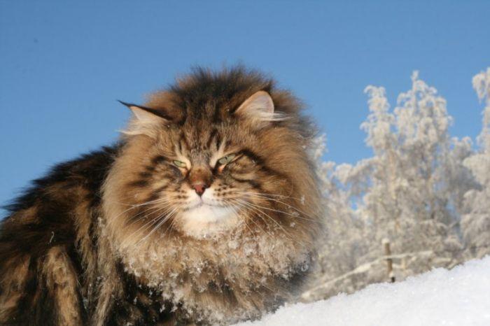 chat sibérien neige